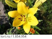 Жёлтая лилия. Стоковое фото, фотограф Анастасия Захаренко / Фотобанк Лори