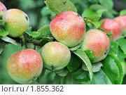 Яблоки в каплях дождя. Стоковое фото, фотограф Сергей Слабенко / Фотобанк Лори