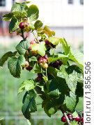 Купить «Ветка черной смородины с поспевающими ягодами», фото № 1856506, снято 20 июля 2010 г. (c) Катерина Макарова / Фотобанк Лори