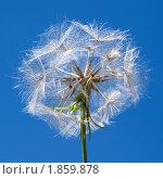 Козлобородник пореелистный, или Овсяной корень (Tragopogon porrifolius) на фоне синего неба. Стоковое фото, фотограф Sergey Kohl / Фотобанк Лори