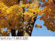 Осенние листья клёна. Стоковое фото, фотограф Наталья Гребенюк / Фотобанк Лори