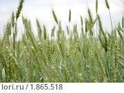 Зерновые. Стоковое фото, фотограф Гузынин Тимофей / Фотобанк Лори