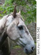 Портрет серой лошади. Стоковое фото, фотограф Татьяна Кахилл / Фотобанк Лори
