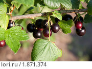 Купить «Ягоды черной смородины на ветке», фото № 1871374, снято 25 июля 2010 г. (c) Катерина Макарова / Фотобанк Лори