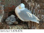 Купить «Чайка (Larus)», фото № 1878874, снято 30 июня 2009 г. (c) Некрасов Андрей / Фотобанк Лори
