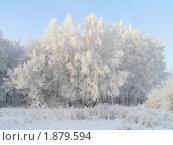 Снежная шапка из берез. Стоковое фото, фотограф Станислав Горбачев / Фотобанк Лори