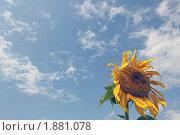 Подсолнух. Стоковое фото, фотограф Межерицкая Юлия Сергеевна / Фотобанк Лори