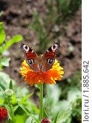 Купить «Бабочка Павлиний глаз на цветке. Крупный план», фото № 1885642, снято 3 августа 2010 г. (c) Катерина Макарова / Фотобанк Лори