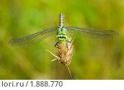 Купить «Зеленая стрекоза», фото № 1888770, снято 6 августа 2010 г. (c) Елисей Воврженчик / Фотобанк Лори