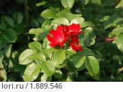 Купить «Садовая роза», эксклюзивное фото № 1889546, снято 24 июля 2010 г. (c) lana1501 / Фотобанк Лори