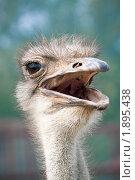 Купить «Голова страуса», фото № 1895438, снято 6 августа 2010 г. (c) Сергей Лаврентьев / Фотобанк Лори