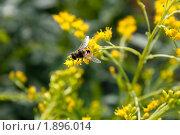 Купить «Насекомое на цветах Эстрагона», фото № 1896014, снято 6 августа 2010 г. (c) Катерина Макарова / Фотобанк Лори