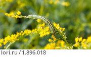 Купить «Гусеница на цветах Эстрагона», фото № 1896018, снято 6 августа 2010 г. (c) Катерина Макарова / Фотобанк Лори