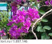 Гроздья цветущих цветов. Стоковое фото, фотограф Вишнякова Татьяна / Фотобанк Лори