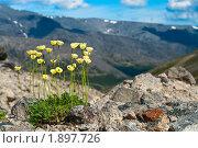 Горные цветы. Лапландские маки. Стоковое фото, фотограф Кекяляйнен Андрей / Фотобанк Лори