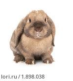 Купить «Карликовый вислоухий кролик породы Баран», фото № 1898038, снято 4 августа 2010 г. (c) Юлия Машкова / Фотобанк Лори