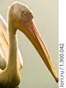 Купить «Пеликан», фото № 1900042, снято 8 августа 2010 г. (c) Parmenov Pavel / Фотобанк Лори