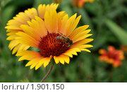 Купить «Пчела на цветке», фото № 1901150, снято 21 июня 2010 г. (c) Наталья Лабуз / Фотобанк Лори