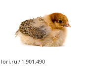 Купить «Цыпленок», фото № 1901490, снято 19 июня 2010 г. (c) Елена Блохина / Фотобанк Лори