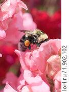 Купить «Шмель на цветке львиного зева», эксклюзивное фото № 1902102, снято 27 июля 2010 г. (c) Шичкина Антонина / Фотобанк Лори