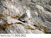 Купить «Птенец чайки», фото № 1904062, снято 22 июля 2010 г. (c) Наталья Волкова / Фотобанк Лори