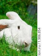 Купить «Белый кролик», фото № 1906854, снято 7 августа 2010 г. (c) Дмитрий Калиновский / Фотобанк Лори