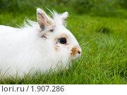 Купить «Белый кролик», фото № 1907286, снято 31 июля 2010 г. (c) Дмитрий Калиновский / Фотобанк Лори
