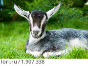 Купить «Козленок», фото № 1907338, снято 31 июля 2010 г. (c) Дмитрий Калиновский / Фотобанк Лори