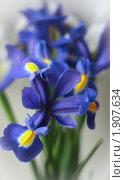 Купить «Цветок ирис», фото № 1907634, снято 29 апреля 2010 г. (c) Мария Васильева / Фотобанк Лори