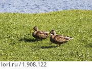 Купить «Утки на зеленой траве», фото № 1908122, снято 26 августа 2009 г. (c) Яременко Екатерина / Фотобанк Лори