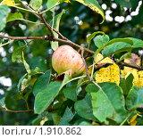 Яблоко на ветке. Стоковое фото, фотограф Попонина Ольга / Фотобанк Лори