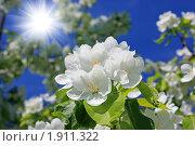 Купить «Цветущая ветка  яблони», фото № 1911322, снято 4 июня 2010 г. (c) Гер Олег / Фотобанк Лори
