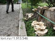 Большая грибная колония на пне возле асфальтированной пешеходной дорожки в современном мегаполисе (2010 год). Стоковое фото, фотограф Мари Весна / Фотобанк Лори