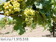 Купить «Растущая виноградная лоза», фото № 1915518, снято 4 августа 2010 г. (c) Лисовская Наталья / Фотобанк Лори