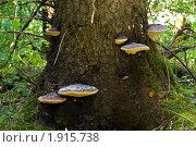 Семейство трутовиков на дереве. Стоковое фото, фотограф Денис Петров / Фотобанк Лори