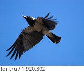 Купить «Ворона серая, Corvus cornix, Hooded», фото № 1920302, снято 1 апреля 2007 г. (c) Василий Вишневский / Фотобанк Лори