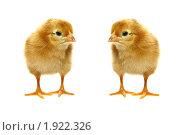 Купить «Два рыжих цыпленка смотрят друг на друга», фото № 1922326, снято 4 августа 2010 г. (c) Васильева Татьяна / Фотобанк Лори
