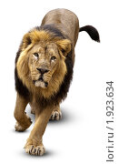 Купить «Лев индийский, Asian lion, Pantera leo persica», фото № 1923634, снято 3 сентября 2009 г. (c) Василий Вишневский / Фотобанк Лори