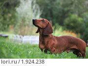 Купить «Собака породы такса в траве», эксклюзивное фото № 1924238, снято 22 августа 2010 г. (c) Яна Королёва / Фотобанк Лори