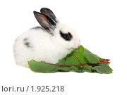 Купить «Крольчонок ест свекольный лист», фото № 1925218, снято 6 августа 2010 г. (c) Васильева Татьяна / Фотобанк Лори