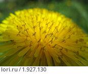 Купить «Желтый цветочный фон. Одуванчик крупным планом», фото № 1927130, снято 16 мая 2007 г. (c) Светлана Ильева (Иванова) / Фотобанк Лори