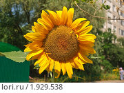 Купить «Подсолнух (Helianthus annuus)», эксклюзивное фото № 1929538, снято 22 июля 2010 г. (c) Алёшина Оксана / Фотобанк Лори