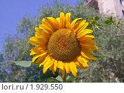 Подсолнух (Helianthus annuus) Стоковое фото, фотограф Алёшина Оксана / Фотобанк Лори