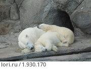 Купить «Семья белых медведей», фото № 1930170, снято 25 августа 2010 г. (c) Евгения Плешакова / Фотобанк Лори
