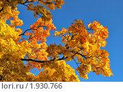 Купить «Золотые ветви клена», фото № 1930766, снято 6 октября 2009 г. (c) Татьяна Савватеева / Фотобанк Лори