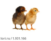 Купить «Два любопытных цыпленка на белом фоне», фото № 1931166, снято 4 августа 2010 г. (c) Васильева Татьяна / Фотобанк Лори