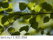 Купить «Ветка берёзы в лесу», фото № 1931554, снято 19 июня 2010 г. (c) Муратов Андрей Анатольевич / Фотобанк Лори