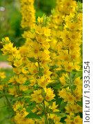 Купить «Цветы вербейника», фото № 1933254, снято 9 июля 2010 г. (c) Наталия Ефимова / Фотобанк Лори