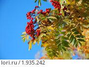 Купить «Ветка рябины с ягодами на фоне голубого неба», фото № 1935242, снято 10 октября 2009 г. (c) Надежда Келембет / Фотобанк Лори