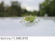 Саранча. Стоковое фото, фотограф Даниил Захаров / Фотобанк Лори